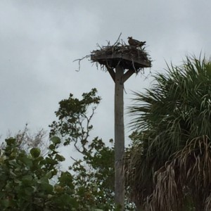 Large and tall Florida osprey nest